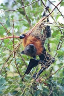 Tangled_flying-fox_Mike_Jupp_compressed.jpg