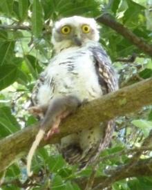 Powerful_owl_juvenile_with_ringtail_possum__B_Taylor_web.jpg