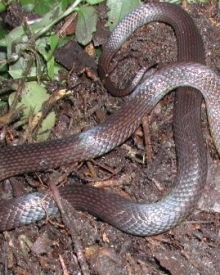 Golden-crowned_Snake_N_Pallin_web.jpg