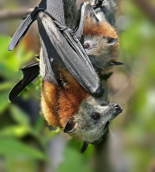 Flying Foxes Sydneybats