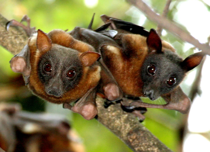Flying Foxes Sydneybats