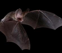 Lesser_long-eared_bat_wings_enfolding_compressed.jpg