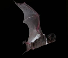 White-striped_freetail_bat_compressed.jpg