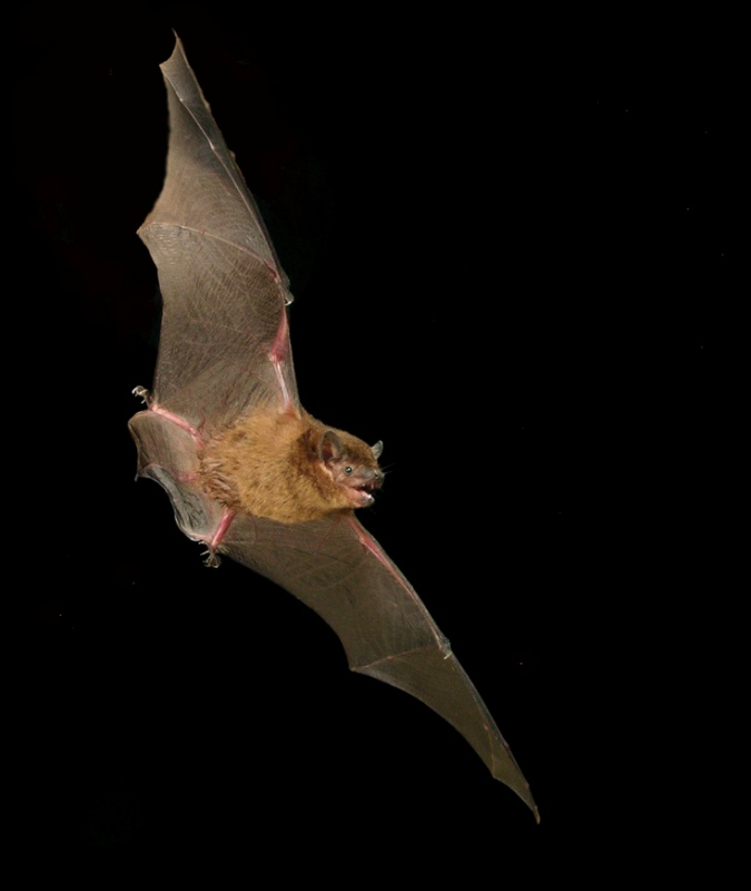 Eastern_broad-nosed_bat_resized.jpg