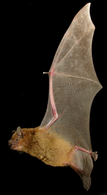 Greater_broad-nosed_bat_resized.jpg