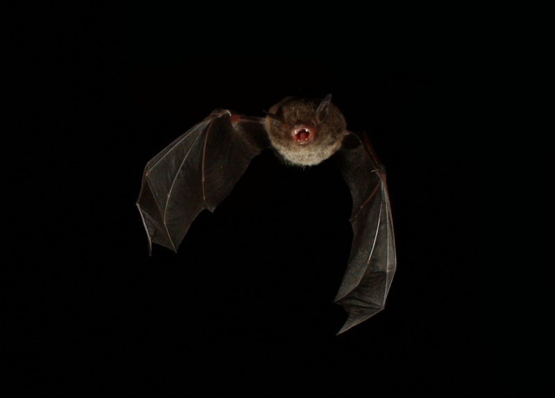 Large-footed_myotis_fishing_bat_resized.jpg