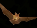 Goulds_long-eared_bat_resized.jpg