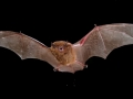 Greater_broad-nosed_bat_front_view_resized.jpg