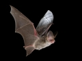Lesser_long-eared_bat_resized.jpg