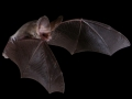 Lesser_long-eared_bat_wings_enfolding_resized.jpg